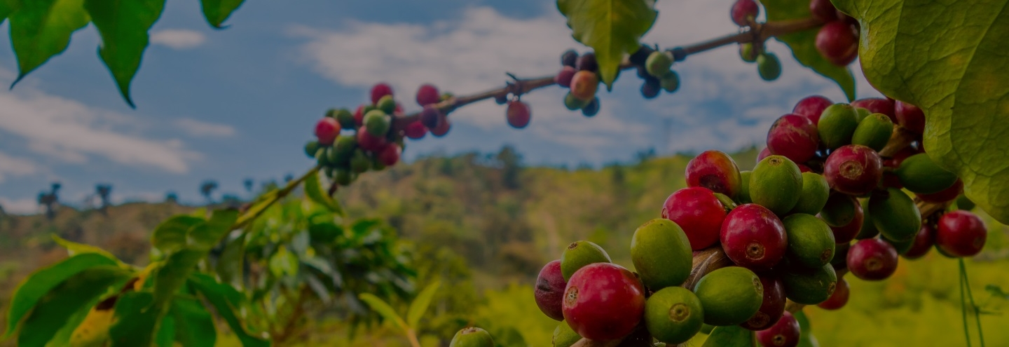 Image of coffee berries ripening
