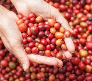 Image of woman's hands lifting red coffee berries