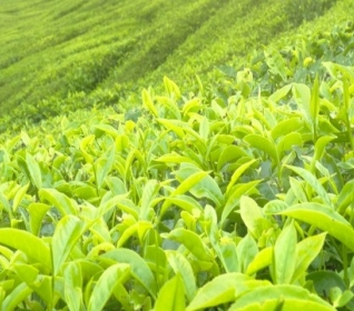 Image of tea plants growing on a hill
